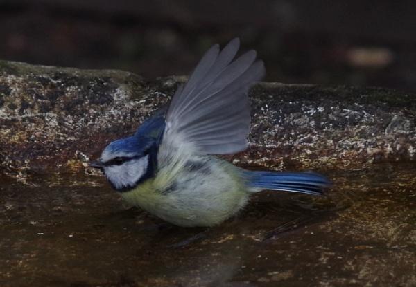Bluetit taking a bath by Kako