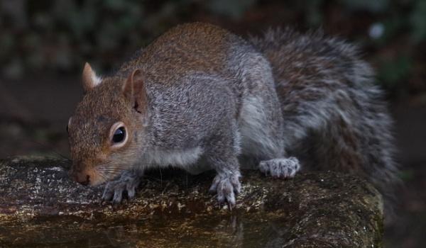 Squirrel on birdbath by Kako