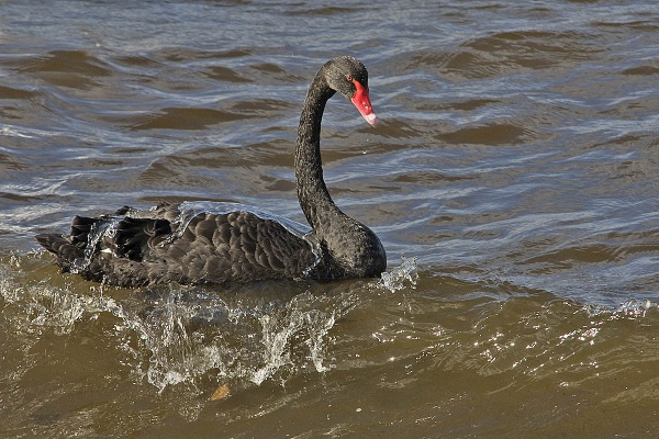 A Black Swan by johnsd