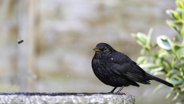 Blackbird by michaelo