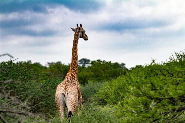 Giraffe in Botswana by videocass