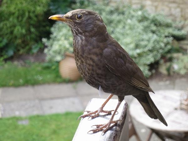 Mrs Blackbird by videocass