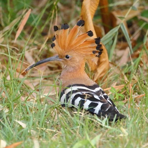 Hoopoe by colin beeley