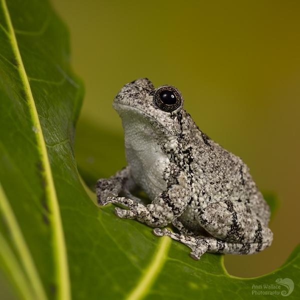 Greys tree frog by Angi_Wallace