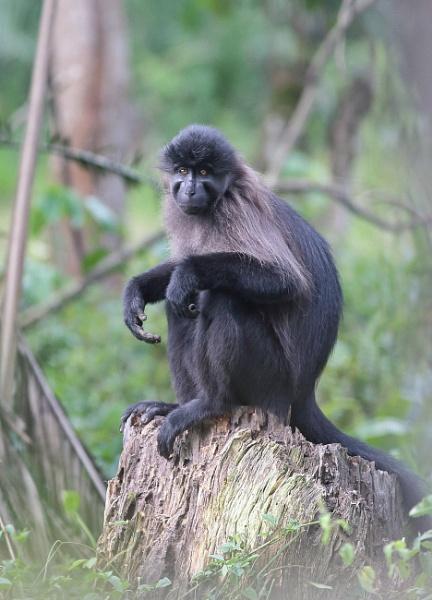 L,Hoest Monkey by HenB
