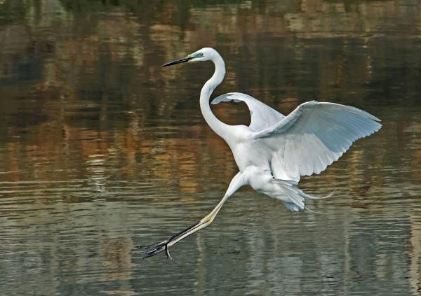 Great White Egret Descending by DonMc