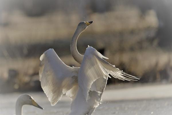 wild swan by maratsuikka
