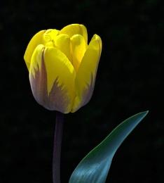 Focus stacked Tulip