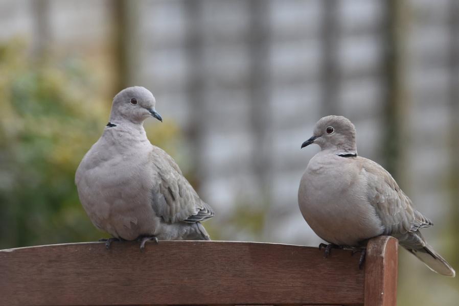 collared doves on garden furniture