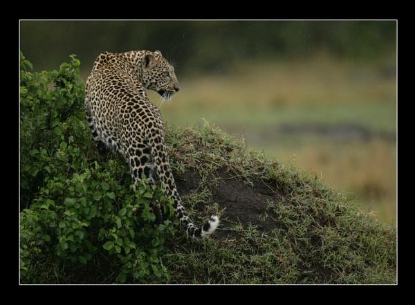 Leopard - Masai Mara by philhomer