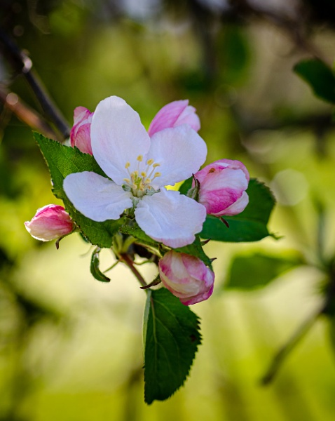 Apple blossom by chavender