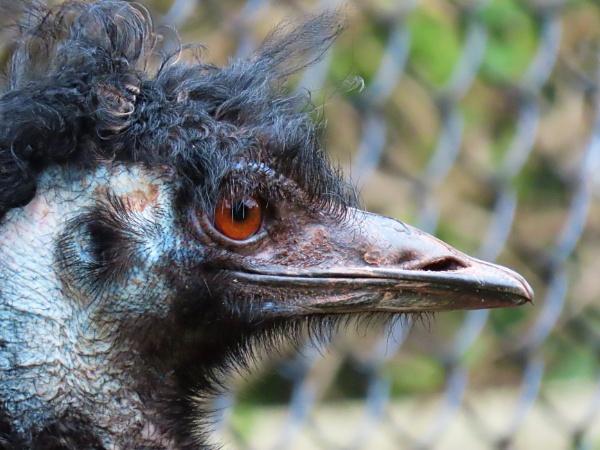 Paignton Emu by JanOByrne