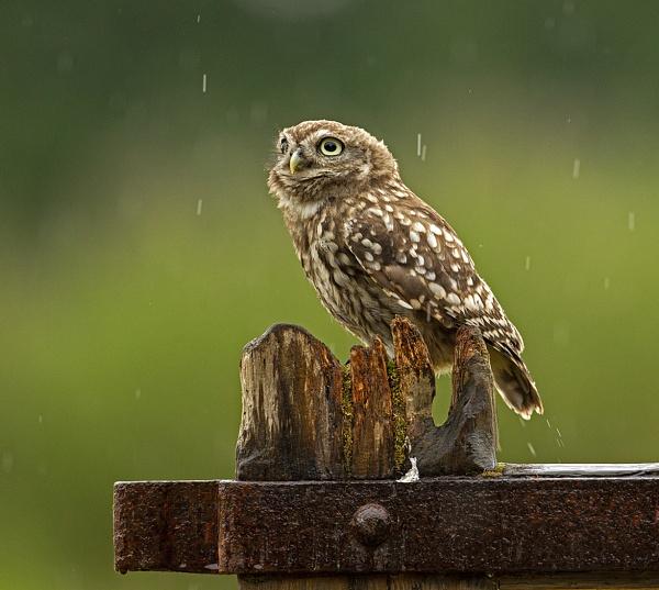 Wild Little Owl in rain by hibbz