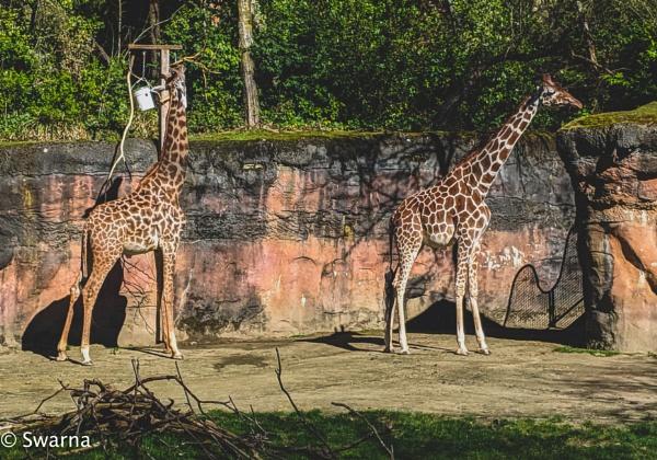 Giraffes... by Swarnadip