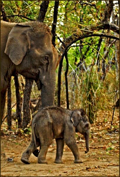 Indian elephants by JuBarney