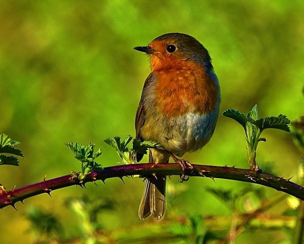 A beautiful one legged Robin. by georgiepoolie