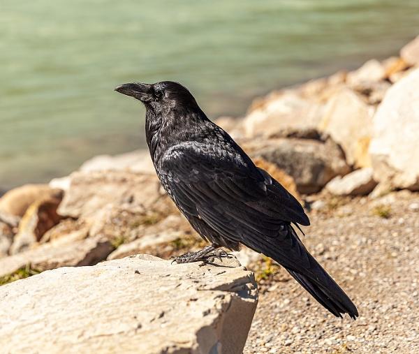 Common Raven (Corvus corax) at Kootenay River by pdunstan_Greymoon