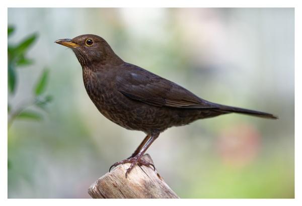 Female blackbird by Shedboy