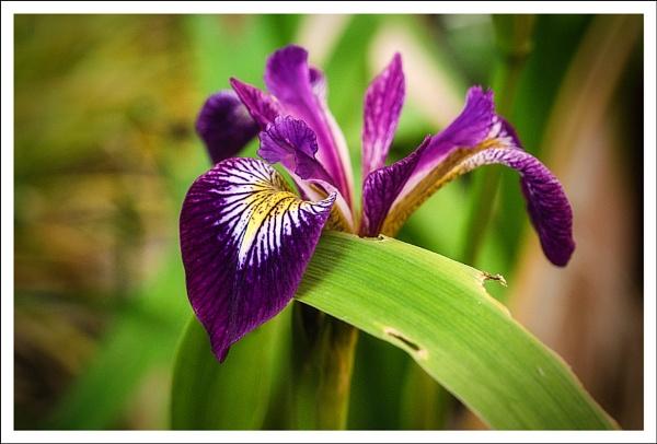 iris. by rocky41