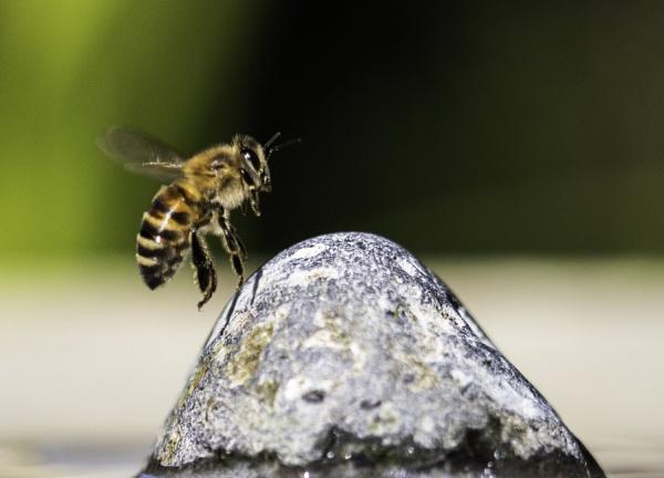 Thirsty Honey Bee by ChristopherA