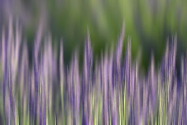 Lavender ICM by trusth