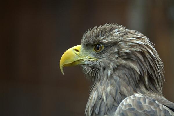 Eagle by luminus