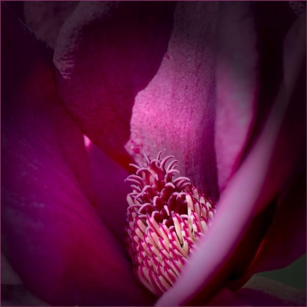 Genie--a magnolia by taggart