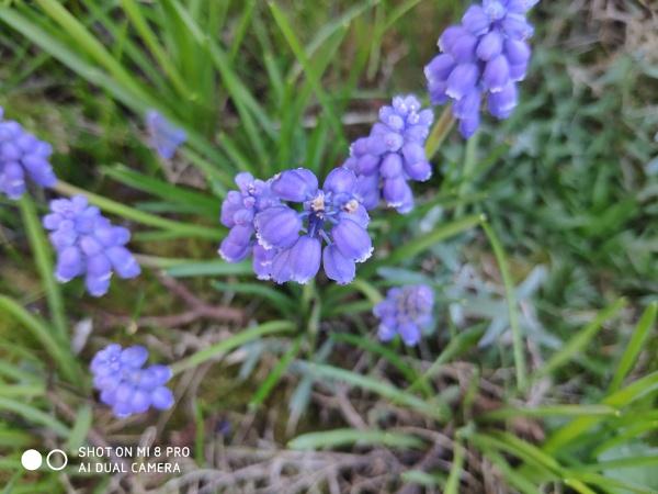 grape hyacinth by colin2019