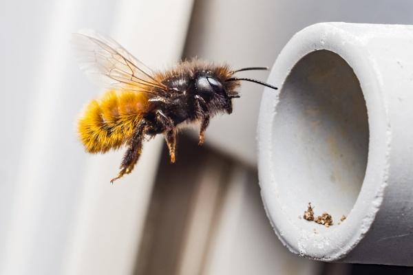 Bee in Stopper II by aldasack1957