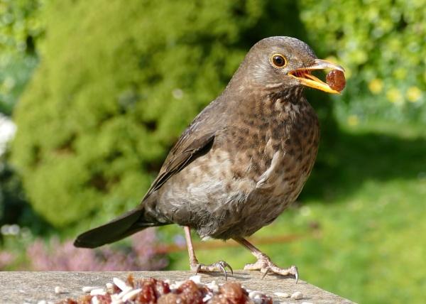 Mrs Blackbird by Chas05