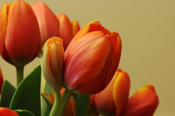 Tulips by Oldstoat