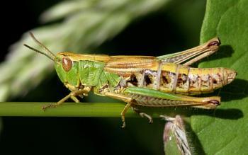 Meadow Grasshopper--Chorthippus parallelus.