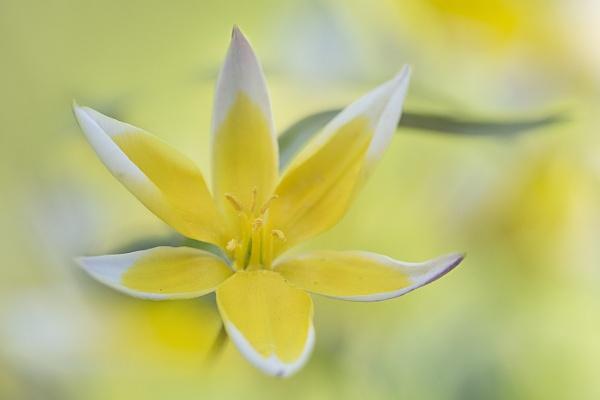 Tulipa tarda by janedibnah
