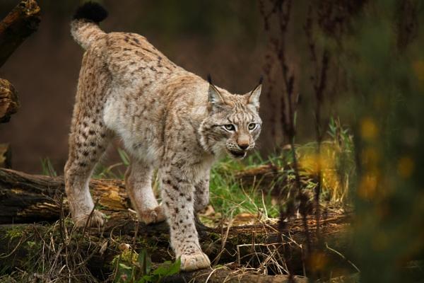 Lynx by robjames