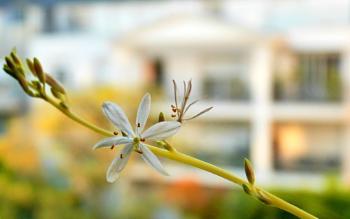 Chlorophytum flower