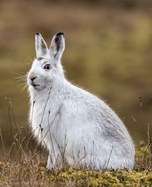 Mountain hare, Shetland by HelenMarie