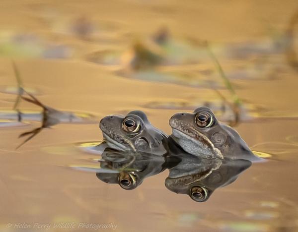 Frog Love by HelenMarie
