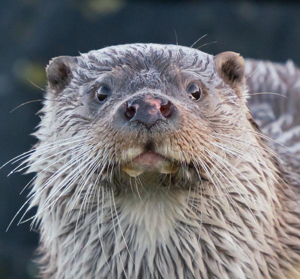 Otter portrait by HelenMarie