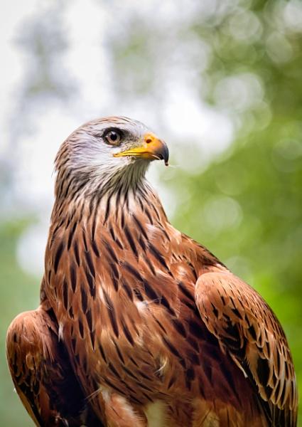 Hawk eye by BiffoClick
