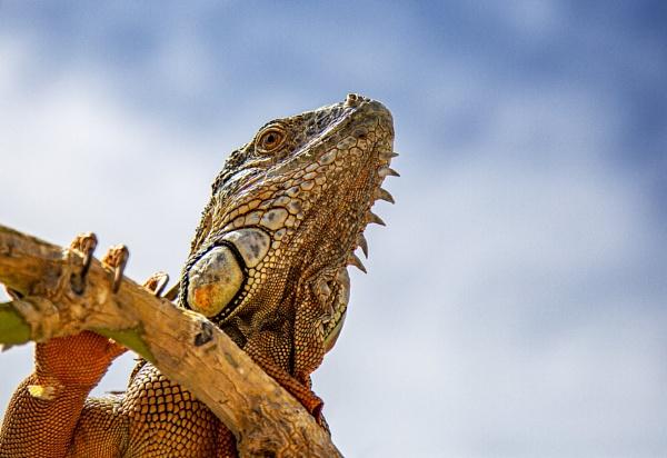 Iguana by Owdman