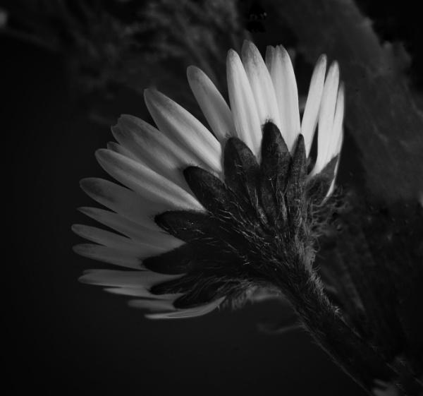 Humble daisy by WilliamEdward