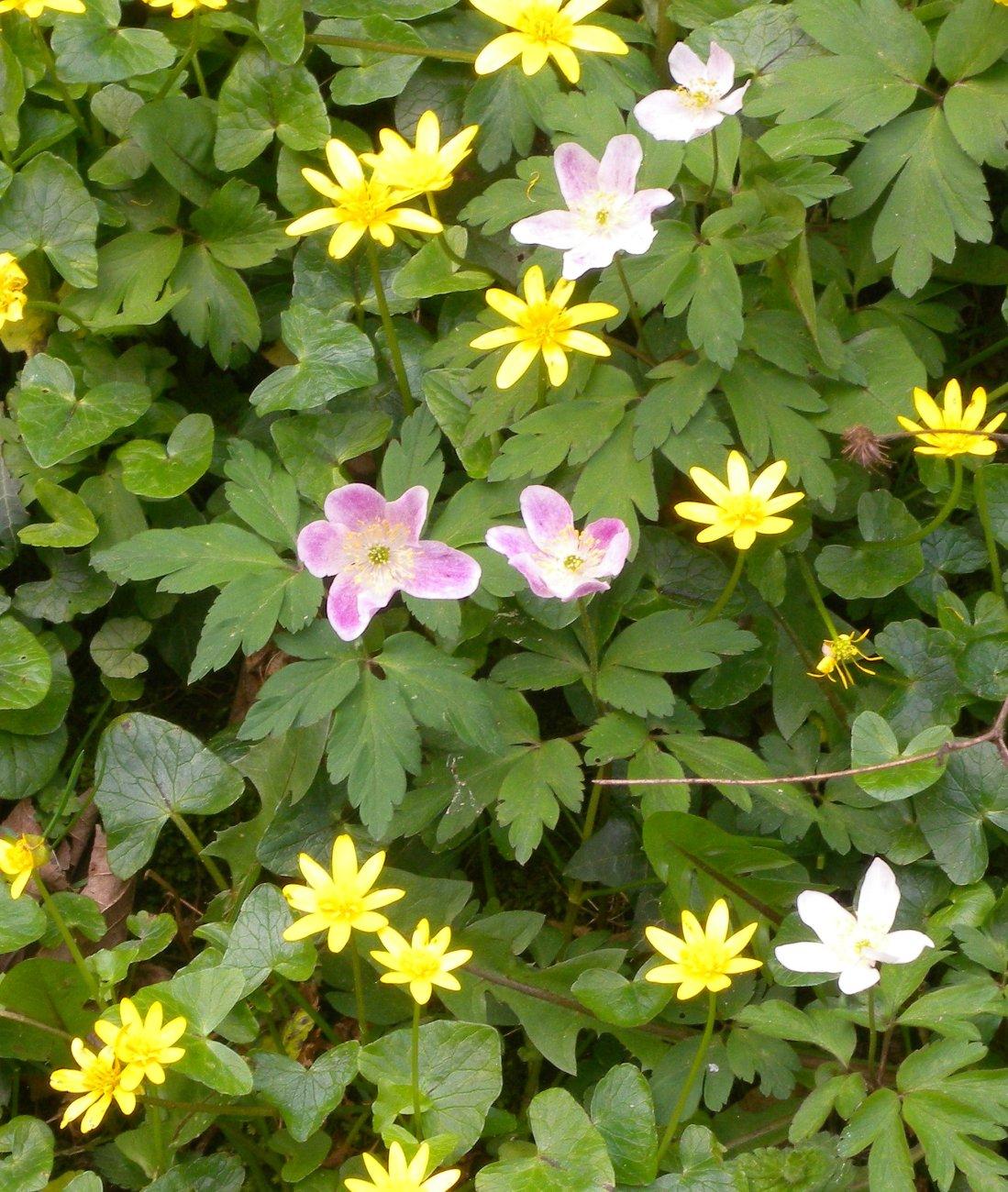 Pink Wood anemones