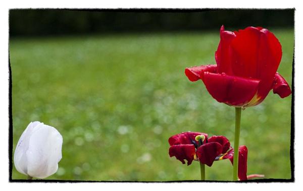 todays tulips by bornstupix2