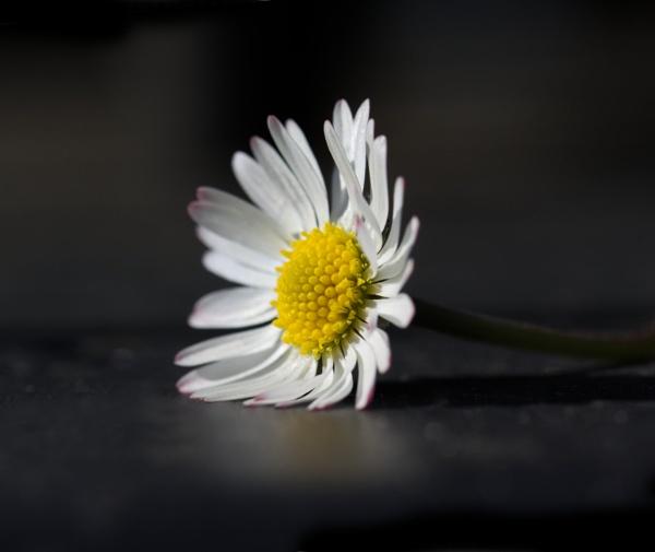 Daisy by loves2travel
