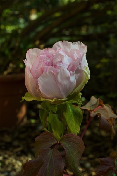 Pivoine de mon jardin by MAHO30