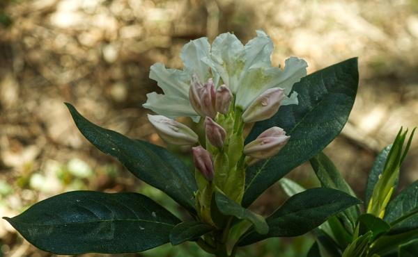 Rhododendron de mon jardin by MAHO30