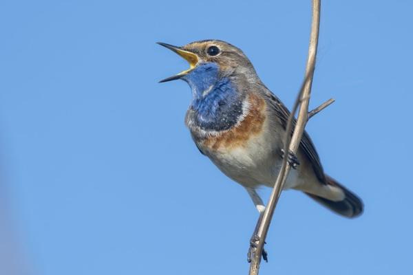 Bluethroat  sings by gerti62