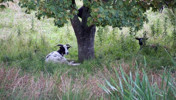 Sheep by Bert47