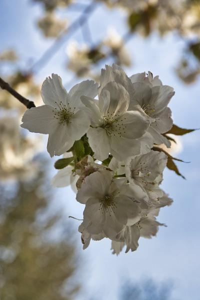 Blossom by PGibbings