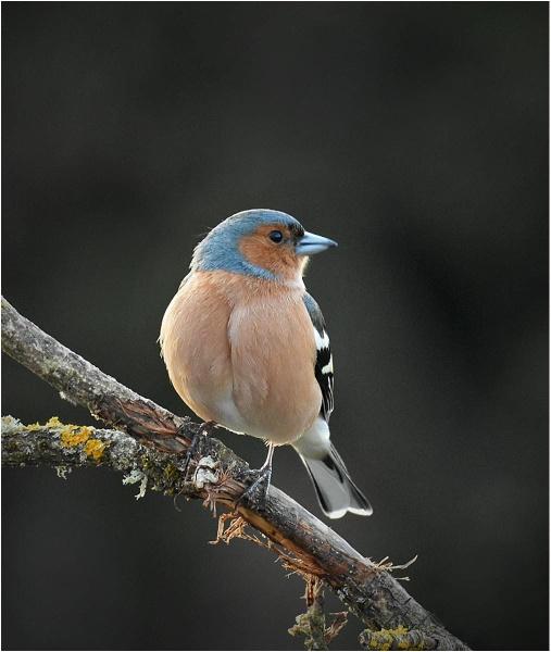 Male Chaffinch by MalcolmM